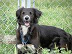 Dixiebelle Border Collie Young Female