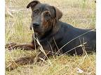 Junie Plott Hound Puppy Female