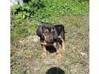 Harley Bloodhound Puppy Male