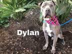 DYLAN American Pit Bull Terrier Senior Male