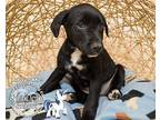 Shining Armor Pointer Puppy Male