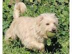 Pretty Girl Poodle (Miniature) Adult Female