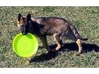 A foster or Adopter needed for Optimus German Shepherd Dog Puppy Male