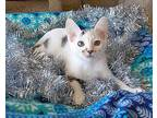 Polar Bear Turkish Van Kitten Male