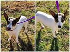 Elsa Jack Russell Terrier Young Female