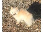 Yeti Pomeranian Adult Female