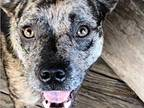 Trout Catahoula Leopard Dog Adult Female