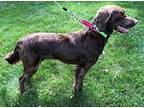 Aiden - NE Brittany Rescue Setter (Unknown Type) Young Male