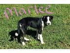 Marlee Border Collie Puppy Female