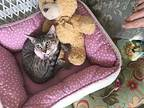 Raina Domestic Shorthair Kitten Female