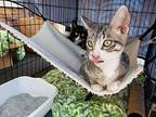 ANDY *** SEE MY VIDEO *** Egyptian Mau Kitten Male