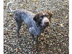 Alvin German Shorthaired Pointer Adult Male