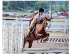 Sunset Serenade Aka Cricket Needs A New Kid Her Girl Has Outgrown Her She Is An 11yr Old 131 Hh Chestnut Pony Mare Over The Past 3yrs Shes Participate