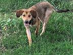 Marley Foxhound Young Female