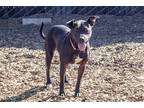 Adopt Pandora a Labrador Retriever / Pit Bull Terrier / Mixed dog in Napa