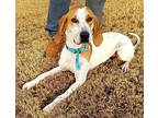 Polly (Betty Lou) Treeing Walker Coonhound Adult Female