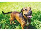 Buddy Black Mouth Cur Adult Male