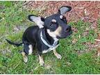 Sparkles Miniature Pinscher Young Female