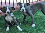 2 RED NOSE PIT BULL PUPPIES Pit Bull Terrier Puppy Male