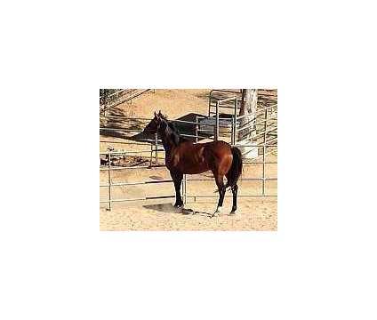 George (Thoroughbred Bay Gelding) is a Male Thoroughbred in Alpine CA