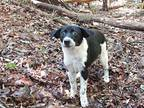 Clementine Treeing Walker Coonhound Young Female