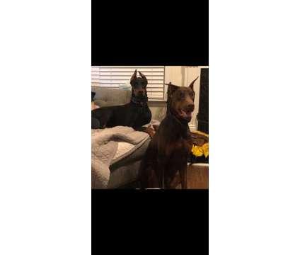 Doberman Puppies is a Male Doberman Pinscher Puppy For Sale in Jefferson GA