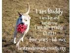 Adopt Buddy a Tan/Yellow/Fawn Labrador Retriever / Mixed dog in Beatrice
