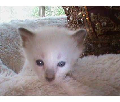 Siamese Kitten is a Male Siamese Kitten For Sale in Raleigh NC