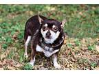 BROWNSTER Chihuahua Senior Male