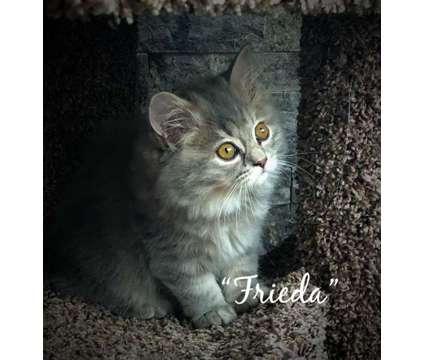 Scottish Fold/Straight Kittens Ready for Adoption in Alabama is a Scottish Fold Kitten Adoption in Weaver AL