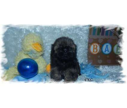 Akc Shih Tzu Babies is a Male Shih-Tzu Puppy For Sale in Nashville TN
