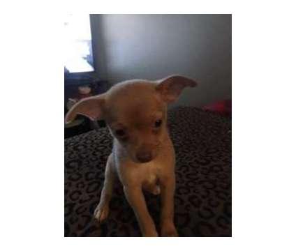 Pomchi Puppies is a Female Pomchi Puppy For Sale in Tracy CA