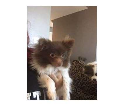 Pomeranian is a Male Pomeranian For Sale in Tracy CA