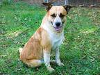 WHISKERS-FOSTER NEEDED Collie Adult Male