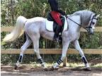 2010 Arabian Stallion AHA Reg Dressage Show Type BS Nom Sire