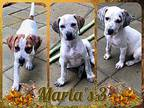 Marla's 3 American Bulldog Puppy Male