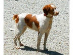 Brittany Puppy for sale in Blossburg, PA, USA