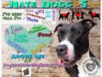 Adopt Nate Dogg a Black - with White Cane Corso / Mixed dog in Crete