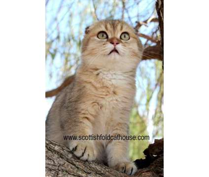 Scottish fold male is a Male Scottish Fold Kitten For Sale in Dallas TX
