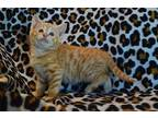 Pitchfork Domestic Shorthair Kitten Male