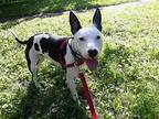 Charlie Bull Terrier Young Male