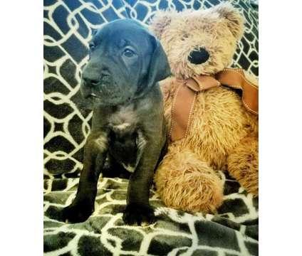 Great Dane Puppy is a Male Great Dane Puppy For Sale in Houston TX
