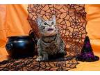 Chamilla Domestic Shorthair Young Female