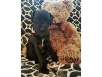 Beautiful Great Dane Puppy