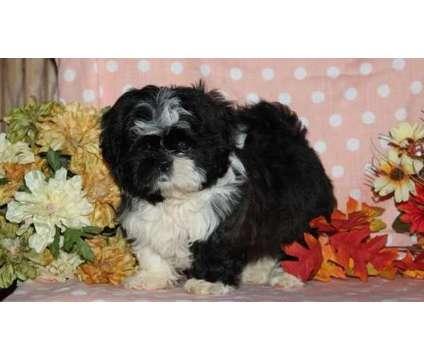 verizon Shih Tzu puppies for Adoptions is a free Free Stuff in San Francisco CA