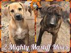 2 Mighty Mastiff Mixes Mastiff Puppy Male