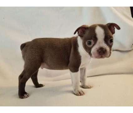 AKC Boston Terrier Puppies BEAUTIFUL is a Male Boston Terrier Puppy For Sale in Lakeland FL