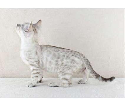 Silver Lynx Male Bengal Kitten is a Grey Male Bengal Kitten For Sale in Hurricane WV