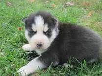 akc reg siberian husky pup , female