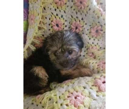 Maltese/shih tzu puppies is a Female Maltese, Shih-Tzu Puppy For Sale in Hayward CA